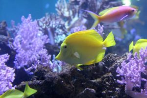 Yellow Tang by firenze-design