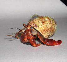 Hermit Crab by ParanoidFreaksStock
