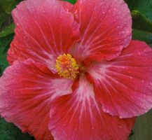 Pink Hibiscus by ErinM2000