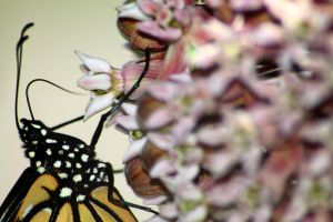 Monarch on Milkweed 2 by S-H-Photography