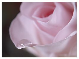rose pink 2 by mzkate