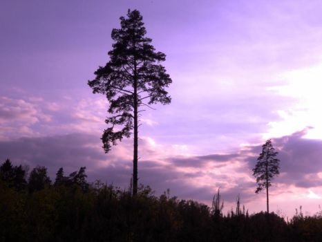 My favourite two pine trees by Qulithinoren