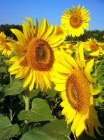Simply Sunflowers by DoctorTonyStarkWho