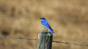 Mountain Bluebird by sgt-slaughter