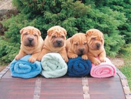 SHARPEI by chopper-chowchow