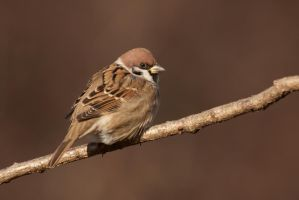 Eurasian Tree Sparrow by CyprianMielczarek