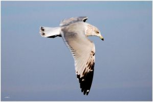 Ring-Billed Gull by SuicideBySafetyPin