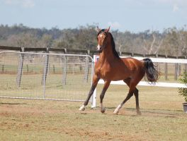GE Arab bay trot front 3/4 by Chunga-Stock