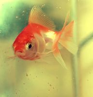 Mon poisson rouge by Pecetta