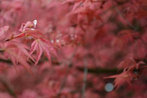 Japanese Maple by PoultryChamp