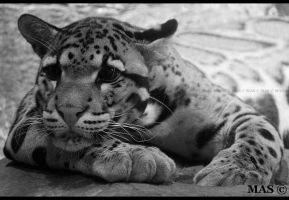 Clouded Leopard_9408 by MASOCHO