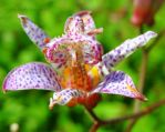 The Rainbow Flower - the Gorgeous Tricyrtis by Cloudwhisperer67
