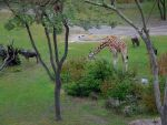 Giraffe and wildebeests by ToaDJacara