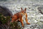 Red Squirrel by oskila