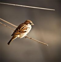 My friend sparrow by Grofica
