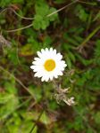Anthemis 1 by K1ku-Stock