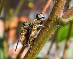 Hoverflies mating . by velar1