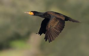Untitledcormorano by FrancoBorsiWildLife