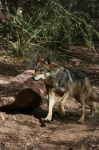 Mexican Grey Wolf 003 by FoxWolfPhoto