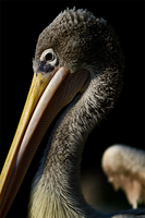 Also pelican by Dullface