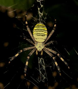 Wasp Spider by any--mel