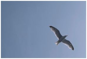 Gull by dxd