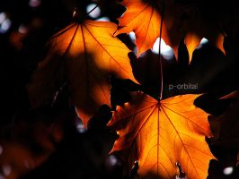 Maple Leaves by porbital