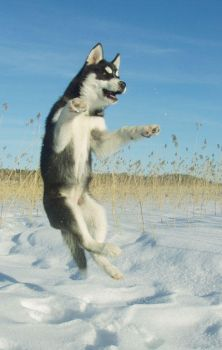 Huskies can fly by Chazar