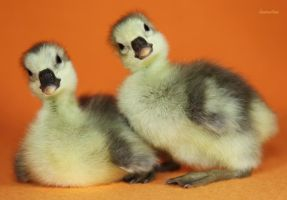 Gosling Siblings by Innocentium