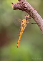 Dragonfly by Hatch1921