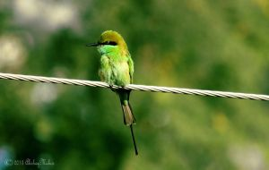 Green Bee-eater by aqshae