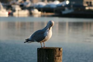 Seagull by DarknessImmaculate