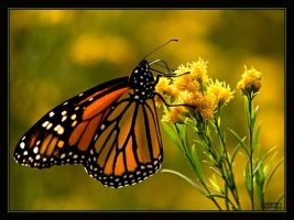 Monarch Butterfly II by ernieleo