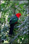 King Parrot by Forbidden-Lover