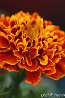 Red N Orange Marigold by poetcrystaldawn