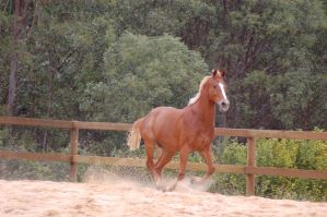 TB canter gallop sand flying by Chunga-Stock