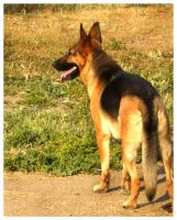 German Shep by Catori911