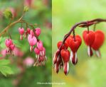 Bleeding Hearts from My Garden by theresahelmer