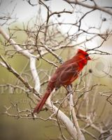 Cardinal on Branch by VeCani