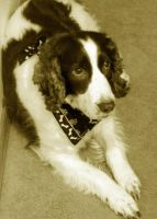 English Springer Spaniel by Photos-By-Michelle