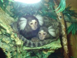 Marmoset :) by Spaik-The-Wolf
