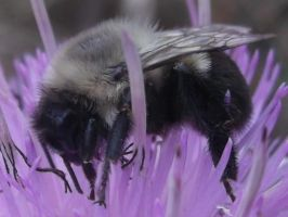 Bee on purple flower close up by rikumario