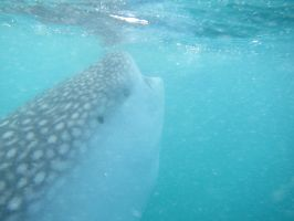Whale Shark 7 by picklesquidly101