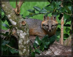 Gray Fox 20D0049471 by Cristian-M