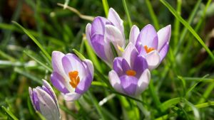 Crocuses in the Sunlight by Danimatie