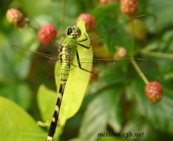 Another Green Dragonfly by Aries18o18