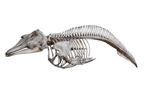 Dolfin skeleton 3 JPEG by Wess4u