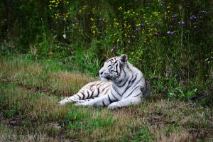 White Tiger by Maybe0rNot