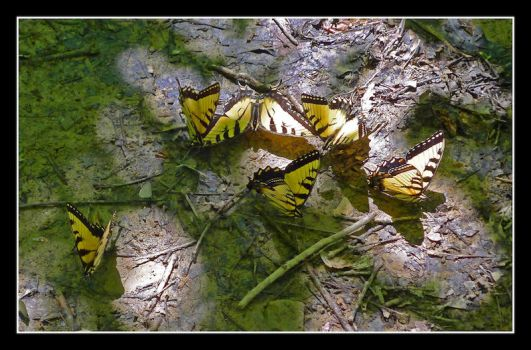 Swallowtails. L1040939, with story by harrietsfriend