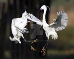 Fighting Little Egrets by naturelens